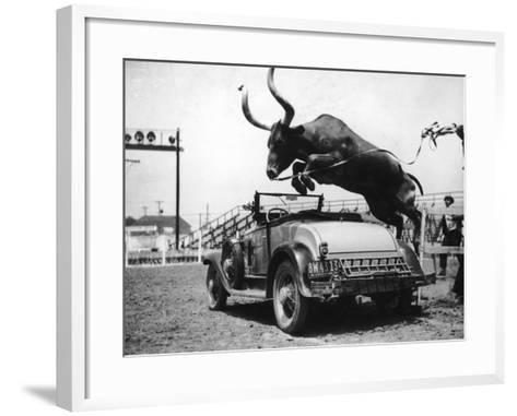 Hurdling Steer-FPG-Framed Art Print