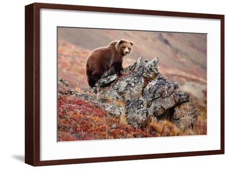 Denali Brown Bear-Image courtesy of Jeffrey D. Walters-Framed Art Print