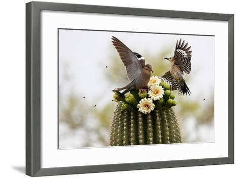 Dove and Woodpecker on Blooming Saguaro Cactus-barbaracarrollphotography-Framed Art Print