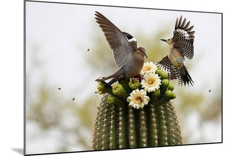 Dove and Woodpecker on Blooming Saguaro Cactus-barbaracarrollphotography-Mounted Photographic Print
