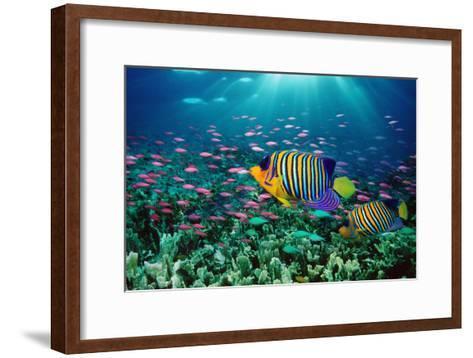 Regal Angelfish and Purple Anthias in Coral Reef (Digital Composite)-Georgette Douwma-Framed Art Print