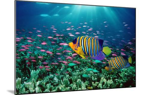Regal Angelfish and Purple Anthias in Coral Reef (Digital Composite)-Georgette Douwma-Mounted Photographic Print