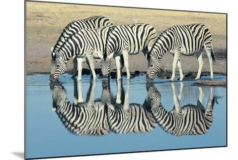 Burchells Zebra (Equus Burchelli) Drinking at Waterhole, Etosha, Namibia-Digital Vision.-Mounted Photographic Print