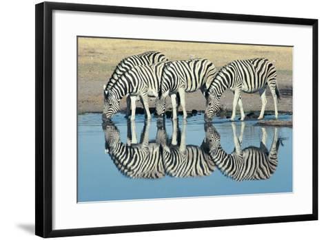 Burchells Zebra (Equus Burchelli) Drinking at Waterhole, Etosha, Namibia-Digital Vision.-Framed Art Print
