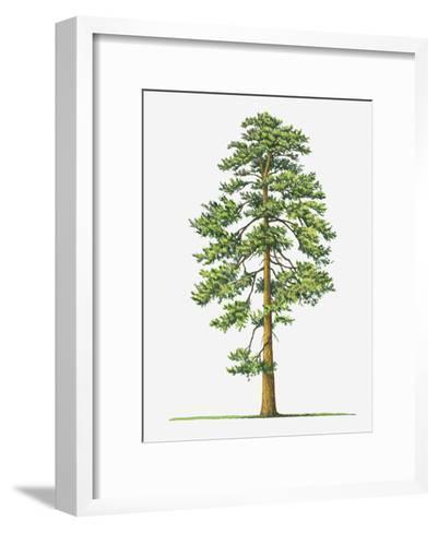 Illustration of Evergreen Pinus Ponderosa (Ponderosa Pine) Tree-Sue Oldfield-Framed Art Print