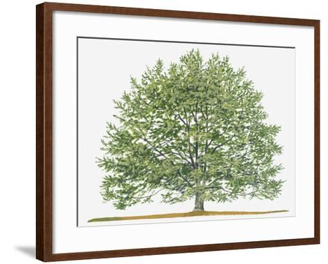 Illustration of Fagus Sylvatica, (European Beech or Common Beech) Deciduous Tree-Sue Oldfield-Framed Art Print