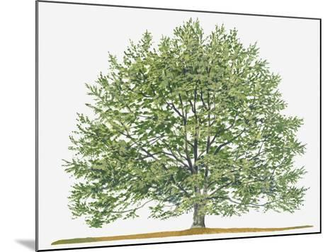 Illustration of Fagus Sylvatica, (European Beech or Common Beech) Deciduous Tree-Sue Oldfield-Mounted Photographic Print
