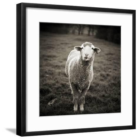 Sheep Chewing Cud-Danielle D. Hughson-Framed Art Print