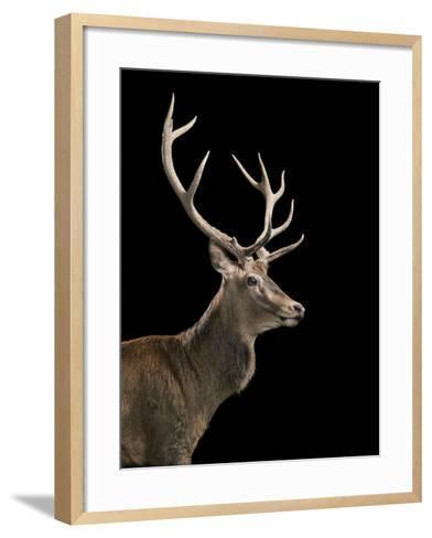 Red Stag-Tim Flach-Framed Art Print