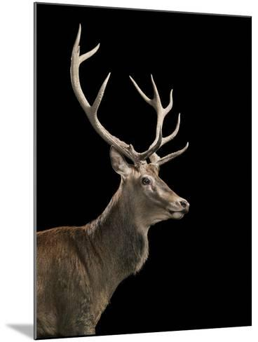 Red Stag-Tim Flach-Mounted Photographic Print