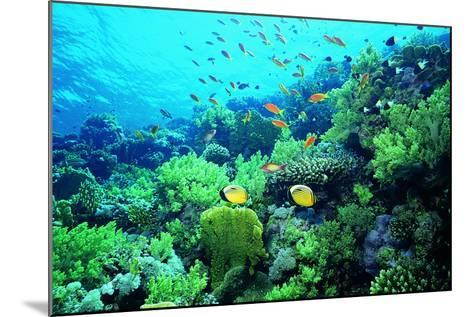 Tropical Fish Swimming over Reef-Stephen Frink-Mounted Photographic Print