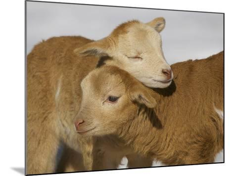Little Lambs-Ryan Courson Photography-Mounted Photographic Print