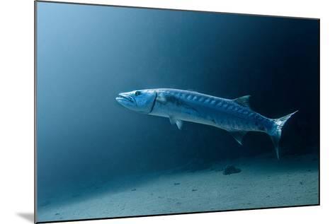 Great Barracuda-Lea Lee-Mounted Photographic Print