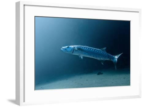 Great Barracuda-Lea Lee-Framed Art Print