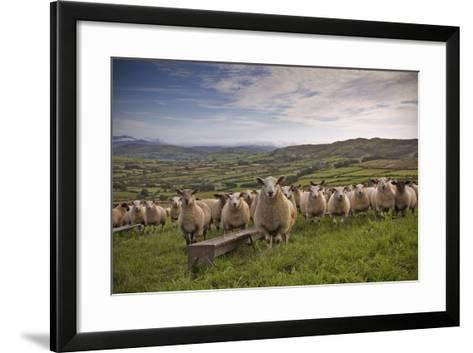 Lambs-Photograph taken by Alan Hopps-Framed Art Print