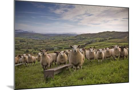 Lambs-Photograph taken by Alan Hopps-Mounted Photographic Print