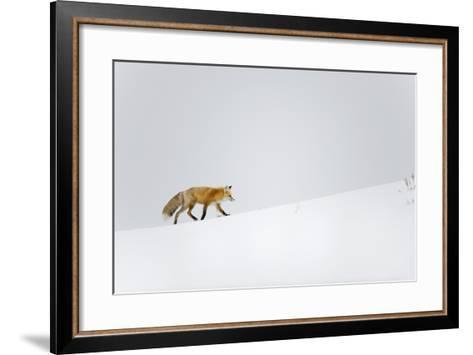 Red Fox, Yellowstone National Park-Ben Cranke-Framed Art Print
