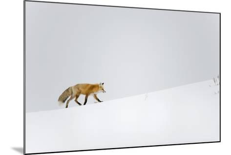 Red Fox, Yellowstone National Park-Ben Cranke-Mounted Photographic Print