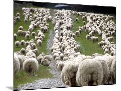 Romney Sheep Mob Trailing to Yards.-Cathie Bell-Mounted Photographic Print
