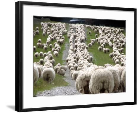 Romney Sheep Mob Trailing to Yards.-Cathie Bell-Framed Art Print