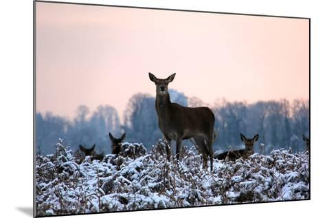 Deers in Bushi Park-Alessio Gaggioli photography-Mounted Photographic Print