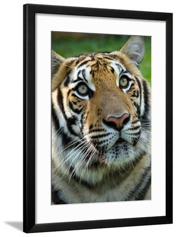 Thai Tiger-Photo by Sayid Budhi-Framed Art Print