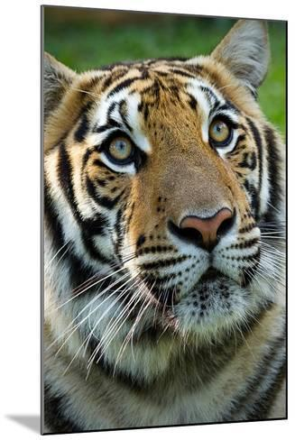 Thai Tiger-Photo by Sayid Budhi-Mounted Photographic Print