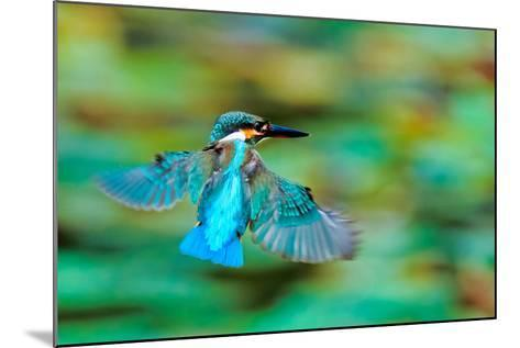 Common Kingfisher-Sunnyha Images-Mounted Photographic Print