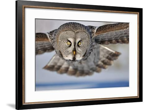 Hunting Great Grey Owl (Strix Nebulosa)-Yves Adams-Framed Art Print