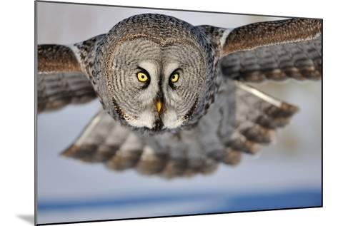 Hunting Great Grey Owl (Strix Nebulosa)-Yves Adams-Mounted Photographic Print
