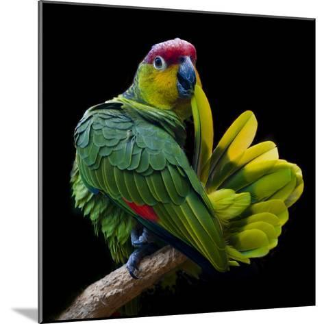 Lilacine Amazon Parrot Isolated on Black Backgro-Photo by Steve Wilson-Mounted Photographic Print