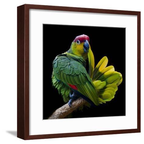 Lilacine Amazon Parrot Isolated on Black Backgro-Photo by Steve Wilson-Framed Art Print