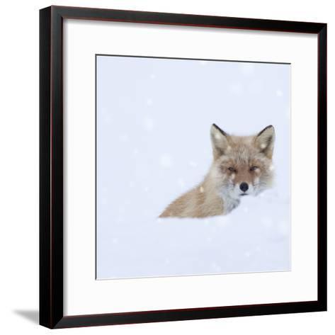 Fox in Snow Field-ICHIRO-Framed Art Print