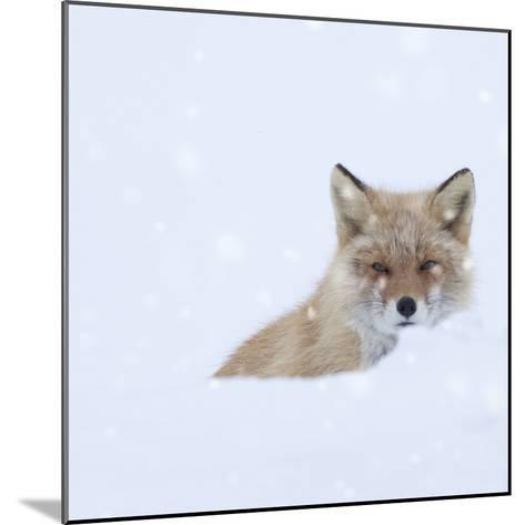 Fox in Snow Field-ICHIRO-Mounted Photographic Print