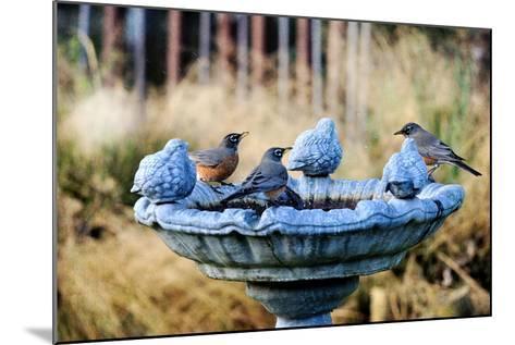 Robins on Birdbath-Barbara Rich-Mounted Photographic Print