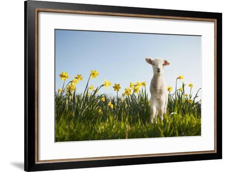 Lamb Walking in Field of Flowers-Peter Mason-Framed Art Print