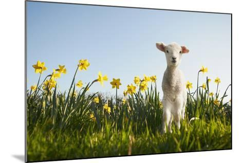 Lamb Walking in Field of Flowers-Peter Mason-Mounted Photographic Print
