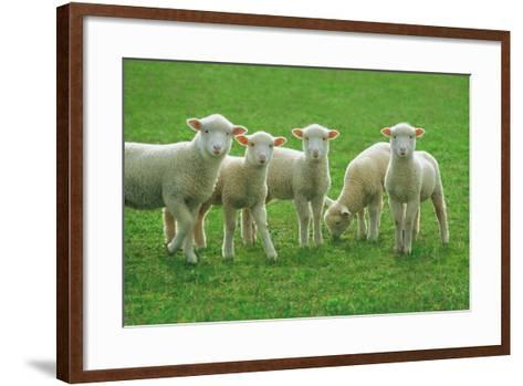 Lambs, near Werribee, Victoria, Australia-Peter Walton Photography-Framed Art Print