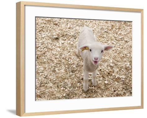 Lamb-Evan Sklar-Framed Art Print