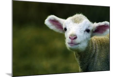 Bleating Lamb-Photo by Alan Shapiro-Mounted Photographic Print