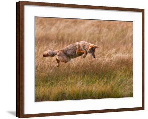 Coyote Leaping - Gibbon Meadows-Photo by DCDavis-Framed Art Print