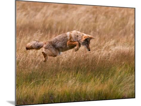 Coyote Leaping - Gibbon Meadows-Photo by DCDavis-Mounted Photographic Print