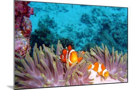 Clown Fishes-takau99-Mounted Photographic Print