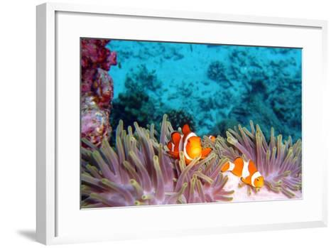 Clown Fishes-takau99-Framed Art Print
