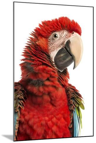 Close-Up of a Green-Winged Macaw-Life on White-Mounted Photographic Print