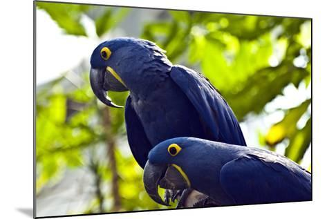 Blue Macaws-Ray Sandusky / Brentwood, TN-Mounted Photographic Print