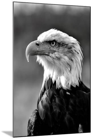 Bald Eagle in Black and White-Andrea & Tim photography-Mounted Photographic Print