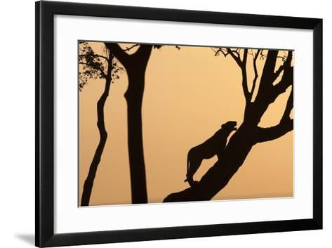 Lioness on a Tree at Dawn - Silhouette-Anup Shah-Framed Art Print