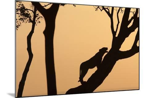 Lioness on a Tree at Dawn - Silhouette-Anup Shah-Mounted Photographic Print