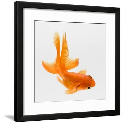 Fantail Goldfish (Carassius Auratus), Elevated View-Don Farrall-Framed Art Print